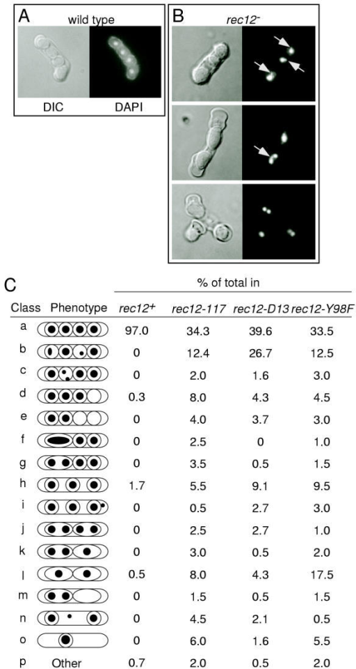 "Cytological phenotypes of wild-type and rec12 mutant asci. (A-B) DIC (left) and DAPI fluorescence (right) images of asci. In addition to aberrant ascus morphology, variable spore number, and unequal DNA content, some rec12 mutant asci show evidence of trailing DNA and chromatin bridges (arrows). The data were from crosses of strains: WSP0602 × WSP0603; WSP0332 × WSP0335 or WSP0079 × WSP1799; WSP1813 × WSP1819; and WSP1556 × WSP1559. (C) Summary of cytological phenotypes in wild-type, rec12-117, rec12-D15, and rec12-Y98F. Randomly selected asci were classified based upon DNA content and distribution (black dots), spore coat formation (circles), and ascus morphology (peripheral oval) using data such as in Panel B. Between 187 and 300 asci were scored for each group. Photomicrographs corresponding to classes ""f,"" ""l,"" and ""j"" are shown in Panel B."