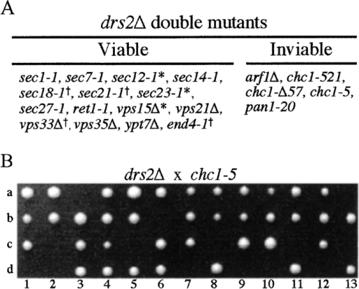 drs2Δ is synthetically lethal with arf1Δ, chc1, and pan1 alleles. (A) Genetic analyses between drs2Δ and mutations that perturb the secretory pathway. Strains carrying the indicated mutations (see Materials and Methods) were crossed with a drs2Δ mutant (6210 drs2Δ or PRY6222) to generate diploids. After tetrad analyses of the progeny, the viable double mutants were streaked at 20°, 26.5°, and 37°C to compare the growth relative to parental strains carrying single mutations. *Double mutants of the alleles and drs2 that were able to grow at 20°C, where single drs2 mutants could not. †Double mutants that grew more slowly than either single mutant at 26.5°C. (B) Tetrad analysis of progeny derived from crossing PRY6222 (drs2Δ) with 6210 chc1-5 (chc1-5). Spores that failed to grow were predicted to be drs2Δ chc1-5 double mutants.