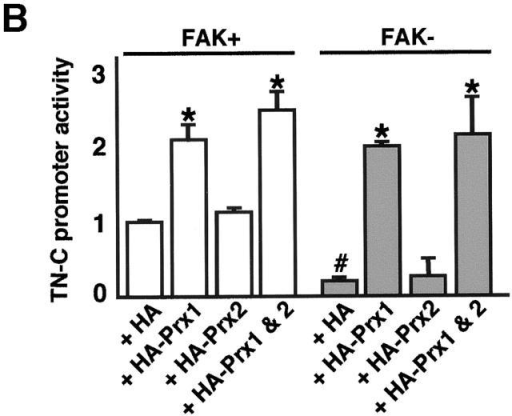 Prx1 interactions with the HBS and up-regulation of TN-C. (A) EMSAs using FAK–wild-type (+) and - (−) fibroblast nuclear extracts, incubated with either a radiolabeled wild-type (W) or mutated (M) HBS probe. To determine the presence of Prx proteins in binding complexes, the wild-type probe and FAK–wild-type nuclear extracts were incubated with antibodies that recognize Prx1, Prx2, or a control IgG. In separate experiments, in vitro transcribed/translated, recombinant rPrx1 protein was incubated with the wild-type–HBS in the absence of nuclear extracts. These complexes were also treated with an anti–Prx1 antisera or a control IgG. (B) TN-C promoter/luciferase gene reporter assays in FAK–wild-type (+) or – (−) cells cotransfected with a TN-C promoter/luciferase gene reporter and HA epitope-tagged Prx expression vectors (i.e., HA-Prx1, HA-Prx2, or a combination of both). A β-galactosidase expression vector was included in each transfection to normalize for transfection efficiency. Shown is the relative fold increase in TN-C promoter activity ± SEM of triplicates from at least three independent experiments. *, P < 0.05 between all groups. #, P < 0.05 between HA vector alone transfected into FAK-wild versus - cells.