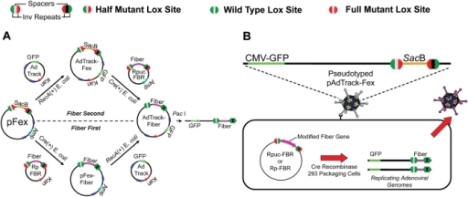 Methods for site specifically transferring modified fiber gene cassettes into adenoviral plasmid vectors or replicating viral genomes in mammalian cells through unidirectional Cre–lox-mediated recombination. (A) The large viral plasmid vector pFex has two regions for accepting transgene cassettes, the Amp-resistant-E1-region cassette and the SacB-fiber-region cassette. The fiber-region-cassette can be recombined before (bottom) or after E1-region-cassette recombination (top). E1 cassettes are recombined through homologous recombination of adenovirus left-hand and right-hand homology regions in RecA positive BJ5183 coli. Recombinant plasmids are selected according to the newly acquired resistance cassette. On the other hand, fiber cassettes are recombined through half-mutant lox site (see legend: Green, wild-type half site; Red, mutant half site; Black and Gray represent non-compatible spacers) recombination in Cre recombinase expressing coli. Non-compatible spacers (gray center versus black center) prevent intragenic recombination. The resulting recombinant plasmids are selected by growth on sucrose containing plates. Following recombination, the donor plasmid product contains fully mutant lox sites (red circles), where the resulting recombinant vector contains fully wild-type lox sites (green circles); therefore, preventing any further recombination between the shuttles and viral vectors. The final resulting vectors are linearized and transfected into mammalian packaging cells to create viral particles (B) Fiber gene cassettes can be directly shuttled into adenoviral genomes in mammalian cells. E1-cassette-containing pFex vectors, such as AdTrack-pFex, can be pseudotyped (packaged in cells that express wild-type fiber) and used to infect packaging cell lines that express Cre recombinase. Transfection of infected cells with a fiber-gene shuttle results in site specific incorporation of the fiber cassette into replicative adenovirus. Only following recombination into a viral genome can the modified fiber gene be expressed. The resulting recombinant virus will be packaged in the newly synthesized modified-fiber capsids and amplified in other cell lines, such as 911–S11.