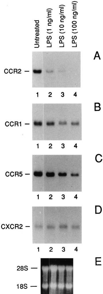 Effect of LPS on the  CCR2 (A), CCR1 (B), CCR5  (C) and CXCR2 (D) mRNA  expression: dose-response analysis. E shows the ethidium bromide stained ribosomal RNA. A  is representative of four different  donors. B and C are representative of two different donors. Total RNA was purified from fresh  human monocytes incubated for  4 h as indicated.