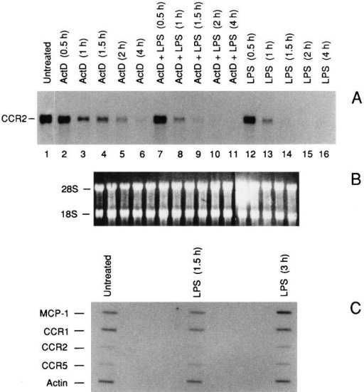 Destabilization of CCR2 mRNA by LPS. (A) effect of LPS  (100 ng/ml) on the CCR2B mRNA transcript stability. Total RNA was  purified from fresh human monocytes incubated for 4 h as indicated. B  shows the ethidium bromide stained ribosomal RNA. (C) Nuclear runoff analysis of the MCP-1, CCR1, CCR2, and CCR5 genes. Fresh human monocytes were incubated with 100 ng/ml of LPS for different periods as indicated.