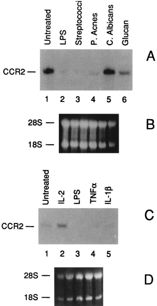Effects of microbial products (A) and cytokines (C) on  CCR2 mRNA expression. B and D show the ethidium bromide stained  ribosomal RNA of A and C, respectively. Total RNA was purified from  fresh human monocytes incubated for 4 h as indicated. (A) lane 1, untreated; lane 2, LPS 100 ng/ml; lane 3, inactivated Streptococci OK432  (0.015 KE/ml); lane 4, P. acnes (10 μg/ml); lane 5, C. albicans (100 μg/ ml); lane 6, Glucan (100 μg/ml). (C) lane 1, untreated; lane 2, IL-2 (1,000  U/ml); lane 3, LPS (100 ng/ml); lane 4, TNF-α (500 U/ml); lane 5, IL-1-β  (20 ng/ml).
