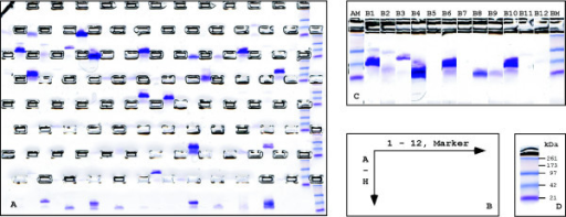 Quality control of recombinant fusion proteins. (A) Image of a Coomassie-stained E-PAGE gel, here shown for the purification of GST fusion proteins. (B) 96 samples can be loaded on a single E-PAGE gel comprising twelve lanes in eight rows (A-H). A single additional lane is available per row to accommodate a molecular weight standard. (C) Single lanes (each 2 cm in length) are assembled to an artificial gel image to facilitate sample analysis. (D) Example molecular weight marker separated by the E-PAGE system.