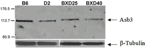 Western blot of Asb3 in C57BL/6J, DBA/2J, BXD25, and BXD40. C57BL/6J (B6) and BXD25 show elevated Asb3 protein abundance relative to DBA/2J (D2) and BXD40. The uniform intensity of the β-tubulin staining across all samples validates the consistency of the total protein loaded for each strain.