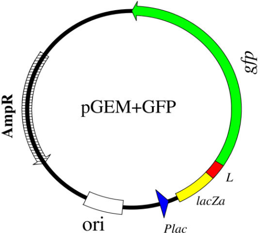 The GFP expression plasmid (pGEM+GFP). The gfp was fused in-frame to the β-galactosidase α-gene in pGEM-Teasy plasmid. A small linker (L) was included (in-frame) between the gfp and β-galactosidase α-gene (lacZa). E. coli lac (lactose) promoter was upstream the genes. A start codon was in the β-galactosidase α-gene and a stop codon was included at the end of the gfp gene. The expression cassette contained an E. coli origin of replication (ori) and ampicillin resistance gene (AmpR).