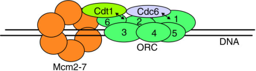 ORC and its interactions with other pre-RC proteins at origins of DNA replication. Orc1-Orc5 are required for origin recognition and binding in S. cerevisiae, whereas Orc6 is dispensable in this regard [44]. In contrast, Orc6 is essential for ORC DNA binding in D. melanogaster [28]. Studies with both S. cerevisiae and human cells have indicated that Cdc6 interacts with ORC through the Orc1 subunit (indicated by a double arrow) [31,79,80]. This association increases the specificity of the ORC-origin interaction [20]. Further studies with S. cerevisiae suggest that hydrolysis of Cdc6-bound ATP promotes the association of Cdt1 with origins through an interaction with Orc6 (indicated by a double arrow) [25,31], and this in turn promotes the loading of Mcm2-7 helicase onto chromatin.