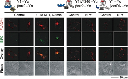NPY specifically stimulates Y1 receptor–β-arrestin2 BiFC. HEK293 cells were transiently co-transfected with FLAG-tagged Y1 receptor–Yc and β-arrestin–Yn plasmids. Cells were live labelled 24 h later with M2 anti-FLAG antibody before treatment with vehicle or 1 µM NPY for 60 min at 37°C. Following fixation, the M2 antibody was identified in fixed cells by a secondary antibody conjugated to Rhodamine Red X. Images were acquired using a Zeiss LSM510 confocal microscope with laser excitation at 488 nm (cYFP BiFC fluorescence, and phase) or 543 nm (M2 detected FLAG Y1 receptors). Representative images are shown from one of at least three experiments. They illustrate the increase in BiFC fluorescence, co-localized with receptor immunoreactivity, in NPY-stimulated cells co-transfected with Y1–Yc and β-arrestin2–Yn. This response was absent when using either a Y1 receptor–Yc construct lacking the C tail after Tyr346 (ΔY346), or a dominant negative (DN) truncated β-arrestin1(319–418)–Yn.