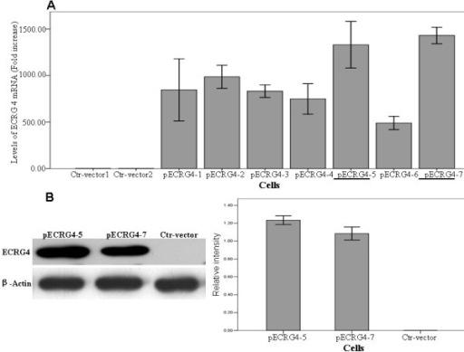 Restored expression of ECRG4 in glioma U251 cells. A. Real-time PCR analysis indicated the highest mRNA expression of ECRG4 in two cell clones pEGFP-ECRG4-5 and -7. B. Western blotting assay shows significantly increased protein expression of ECRG4 in pEGFP-ECRG4-5 and -7 comparing to Control cells. β-actin was used as the internal control.
