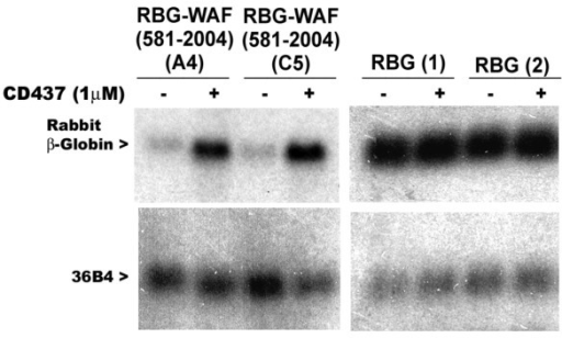CD437 regulation of chimeric rabbit β-globin-p21WAF1/CIP1 mRNA. Two independent sublines derived from transfection of RGB-WAF (581-2004) plasmid [31.4(A4) and 31.4(C5)] or RBG plasmid [29.6(1) and 29.6(2)] were grown either in the absence (-) or presence (+) of 1 μM CD437 for 48 hours. Total RNAs were prepared and expression of RBG transcripts analyzed by northern blot hybridization as described [12]. Levels of RNA loading in each lane were assessed by signals from hybridization with ribosomal phosphoprotein 36B4 cDNA [18]