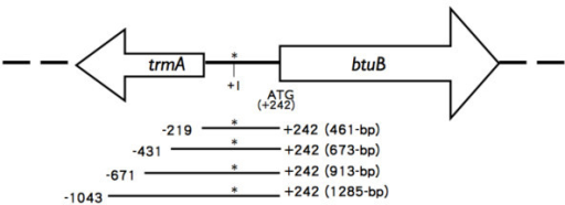 DNA fragments containing the btuB promoter used for lacZ fusions. The btuB initiation codon ATG is located at nucleotide position +242. Asterisk indicates the first nucleotide of the btuB mRNA. The trmA (tRNA methyltransferase) gene is located upstream from btuB. It has no known effect on btuB expression.