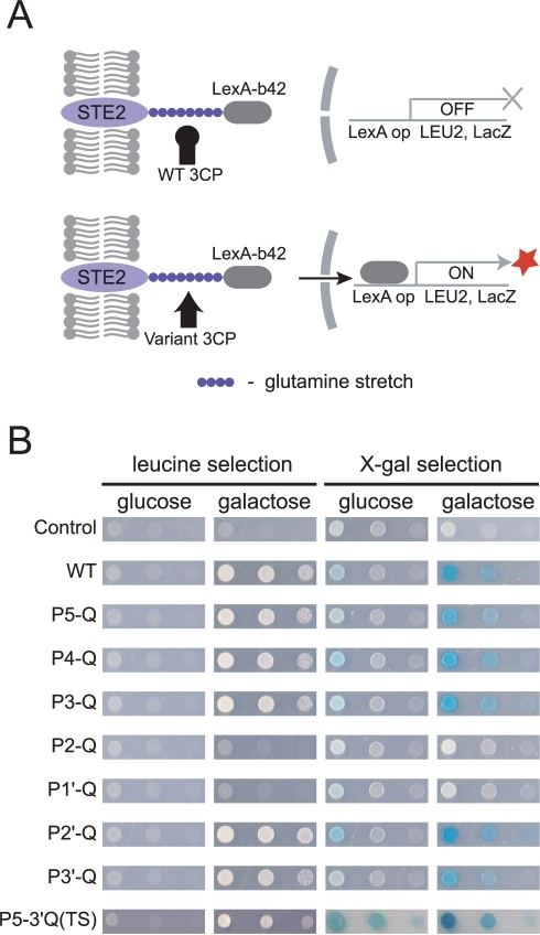 Principle of GASP.A. A fusion protein containing the Ste2 transmembrane domain followed by a polyQ substrate linker and a LexA-b42 transcription factor was expressed in yeast EGY48 cells using a constitutive ADH promoter. Co-expression of galactose-inducible WT HAV 3CP does not result in cleavage of the polyQ substrate sequence (upper panel), while a conceptual 3CP variant cleaves the polyQ linker, causing the release of the transcription factor from the membrane, which in turn activates the reporter genes, Leu2 and LacZ (lower panel). B. EGY48 cells were transformed with pGAL-HAV3CP and pADH-Ste2-Substrate-Lex in which glutamine is substituted in the P5-P3′ positions of the 3CP substrate sequence (see Table S1). Cleavage of the indicated substrate sequence was evident by the growth of yeast cells in leucine-deficient medium and the formation of a blue color on X-gal medium.