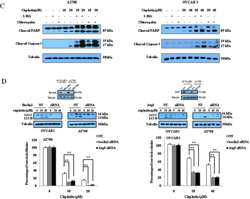 Inhibition of autophagy by 3-MA and chloroquine enhances sensitivity of ovarian cancer cells to cisplatin(A)Upper panels: A2780 and OVCAR3 cells were treated with the indicated concentrations of cisplatin for 48 h in the presence or absence of 3-MA (2mM) or chloroquine (2.5µM). At the end of treatment, cell viability was measured by MTT assay; Lower panels: A2780 and OVCAR3 cells were treated with the indicated concentrations of cisplatin for 24 h in the presence or absence of 3-MA (2mM) or chloroquine (2.5µM), then plated in 35-mm cell culture dishes and incubated for 10 days at 37°C in a humidified atmosphere containing 5% CO2/95% air. At the end of incubation, colonies were stained with 1% methylene blue in 50% methanol for 30 min, washed with water, and colonies counted. Each point or bar represents mean ± S.D. of triplicate determinations; results shown are the representative of three identical experiments. *p<0.05; **p<0.01; (B and C) A2780 and OVCAR3 cells were treated with the indicated concentrations of cisplatin for 24 h in the presence or absence of 3-MA (2 mM) or chloroquine (2.5 µM). Apoptosis was determined by: (B) flow cytometric analysis of Annexin V staining; and (C) Western blot analysis of PARP and cleaved caspase-3. (D) A2780 and OVCAR3 cells were transfected with a beclin 1-targeted or Ag5-targeted siRNA; forty-eight h later, the cells were treated with the indicated concentrations of cisplatin for 24 h, then plated in 35-mm cell culture dishes and incubated for 10 days at 37°C in a humidified atmosphere containing 5% CO2/95% air. At the end of incubation, colonies were stained with 1% methylene blue in 50% methanol for 30 min, washed with water, and colonies counted. The bars are the mean ± S.D. of triplicate determinations; results shown are the representative of three identical experiments. *p<0.05; **p<0.01, vs. control, t-test.