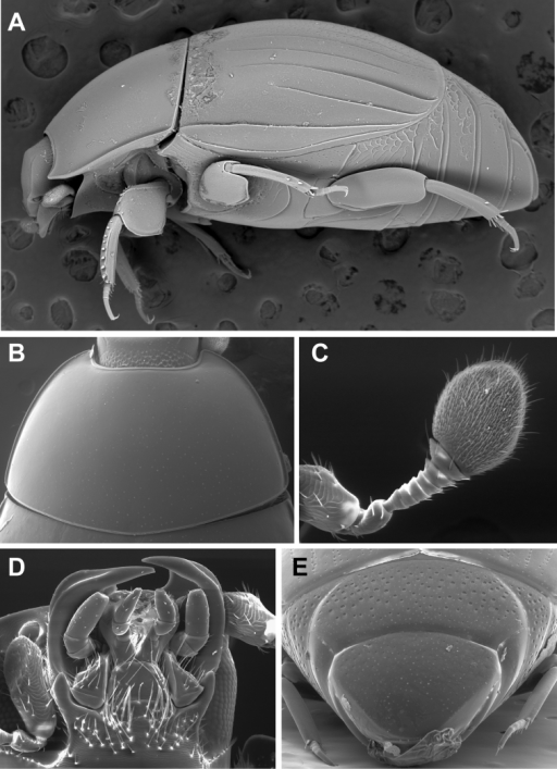 Generic characters of Kaszabister. A Lateral habitus of Kaszabister barrigai showing carinate and convergent dorsolateral elytral striae B Pronotum of Kaszabister carinatusC Antenna of Kaszabister carinatusD Mouthparts of Kaszabister carinatusE Propygidium and pygidium of Kaszabister carinatus.