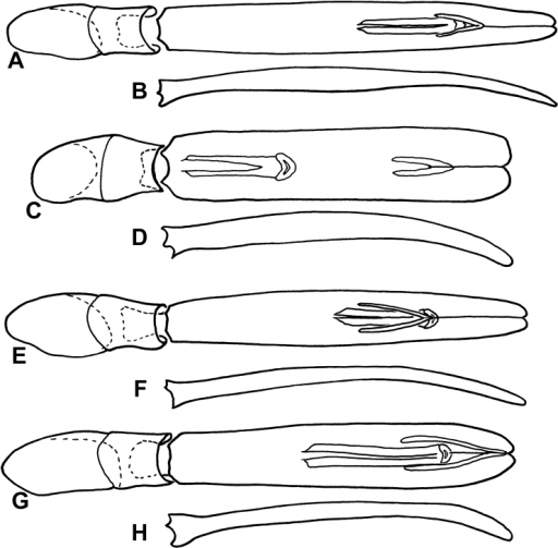 Male genitalia of Kaszabister. A Dorsal view of aedeagus of Kaszabister barrigaiB Lateral view of aedeagus of Kaszabister barrigaiC Dorsal view of aedeagus of Kaszabister ferrugineusD Lateral view of aedeagus of Kaszabister ferrugineusE Dorsal view of aedeagus of Kaszabister rubellusF Lateral view of aedeagus of Kaszabister rubellusG Dorsal view of aedeagus of Kaszabister carinatusH Lateral view of aedeagus of Kaszabister carinatus.
