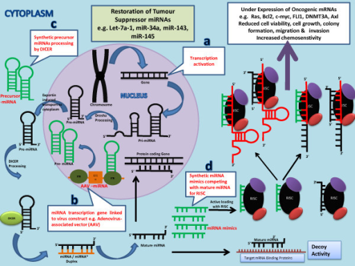 Figure illustrates the mechanisms of restoration of tumour suppressor miRNAs. The knockdown of oncogenic mRNAs can be achieved by restoration of tumour suppressor miRNAs by a) Transcription activation of miRNA transcribing gene b) Transfection of tumour cells with miRNA transcription gene linked to a virus construct e.g. adenovirus-associated vector (AAV) c) Introduction of synthetic precursor miRNAs in tumour cells d) Synthetic miRNA mimics competing with mature miRNAs for RISC.