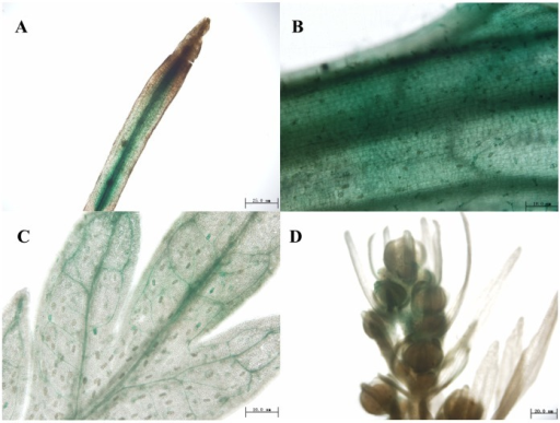Localization of AaERF1 expression using GUS staining of promoter:GUS transgenic plants.GUS activity is revealed by histochemical staining. (A) Root. (B) Stem. (C) Leaf. (D) Flower buds.