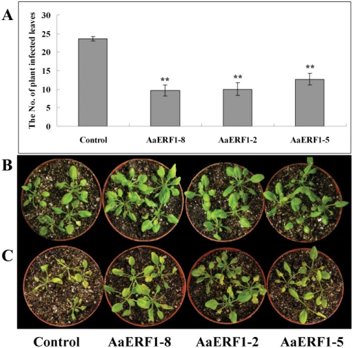 "The 35S: AaERF1 lines show increased disease resistance.A. The numbers of control and the three independent 35S: AaERF1 transgenic Arabidopsis lines showing disease symptoms 4 d after inoculation with Botrytis cinerea. Average data with standard errors from three biological replicates are shown. B. The control and 35S: AaERF1 lines, without inoculation with Botrytis cinerea. C. The control and 35S: AaERF1, 4 d after inoculation with Botrytis cinerea, with 35S: AaERF1 plants showing reduced disease symptoms (see ""Materials and Methods"" for description)."