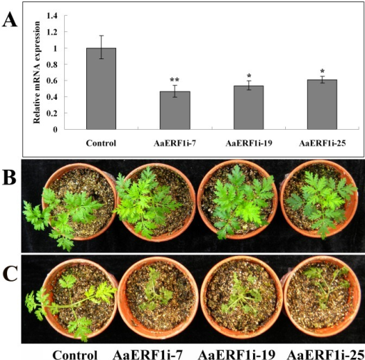 The RNAi lines of AaERF1 show decreased disease resistance.A. The expression of AaERF1 in the empty vector and AaERF1i transgenic A. annua plants. Error bars are SE (n = 3). B. The empty vector and AaERF1i lines, without inoculation with Botrytis cinerea. C. The empty vector and AaERF1i lines, 6 d after inoculation with Botrytis cinerea, with AaERF1i lines showing increased disease symptoms. The experiment was performed three times with similar results.