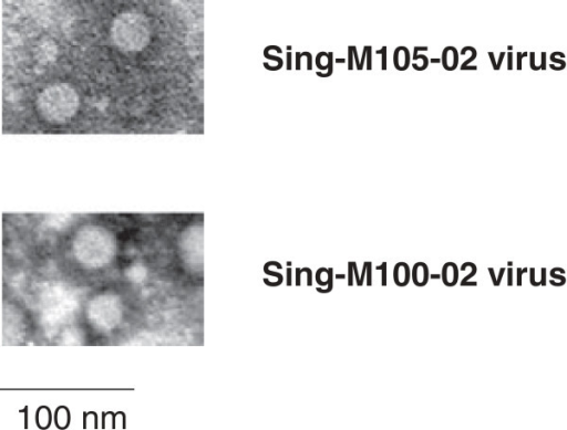 Electron micrographs showing viruses from the Sing-M105-02 and Sing-M100-02 isolates. Viruses were concentrated from the tissue culture fluid of virus-infected Vero cells and negatively-stained. Magnification at x50,000. Scale bars represent 100 nm.
