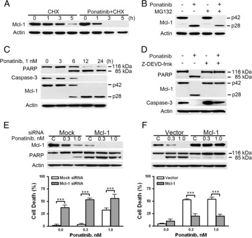 Ponatinib mediates caspase-3-dependent cleavage of Mcl-1. (A) Ponatinib precipitated in Mcl-1 turnover. After pretreatment with or without 1 nM ponatinib, EOL-1 cells were exposed to 5 μg/ml of cycloheximide (CHX), followed by Mcl-1 detection with immunoblotting. (B) MG-132 did not abrogate ponatinib-induced cleavage of Mcl-1. EOL-1 cells were treated with 1 nM ponatinib in the presence or absence of 0.5 μM MG-132 for 24 h. Mcl-1 level was then monitored with immunoblotting. (C) Mcl-1 cleavage occurred with onset of apoptosis after treatment with ponatinib. EOL-1 cells were treated with 1 nM ponatinib for different times, and the indicated proteins were measured with immunoblotting. (D) Mcl-1 cleaved in a caspase-3-dependent manner. EOL-1 cells were treated with 1 nM ponatinib for 24 h with or without 10 μM z-DEVD-fmk, then underwent immunoblotting. (E) Silencing Mcl-1 potentiated ponatinib-induced apoptosis in EOL-1 cells. Twenty-four hours after transfection with Mcl-1 siRNA or control (mock) siRNA, EOL-1 cells were treated with various concentrations of ponatinib, and levels of Mcl-1, PARP, and actin were evaluated by immunoblotting (top); parallel samples were examined for apoptosis by trypan blue staining (bottom, *** P < 0.0001, t test, error bars represent 95% confidence intervals; representative data from 3 independent experiments are shown). (F) Enforced overexpression of Mcl-1 abrogated the ponatinib-induced apoptosis. Twenty-four hours after transfection with pCMV5-flag empty vector or the plasmid expressing Mcl-1, EOL-1 cells were incubated with or without concentrations of ponatinib for another 24 h. Cell viability was evaluated by trypan blue dye exclusion (lower, *** P < 0.0001, t test, error bars represent 95% confidence intervals); Mcl-1 and PARP levels were detected by immunoblotting.