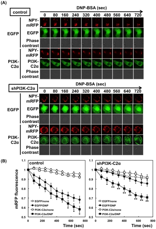 Neuropeptide Y release from PI3K-C2α-knockdown cells.(A) Effect of PI3K-C2α overexpression. The control or PI3K-C2α-knockdown (seq2) cells were transfected with NPY-mRFP. EGFP or shRNA-resistant EGFP-PI3K-C2α was transfected simultaneously. After 48 h, the cells were sensitized with anti-DNP IgE and then stimulated with 1 µM DNP-BSA. After stimulation, the red fluorescence in the cells showing the green fluorescence of EGFP was monitored. Scale bar = 5 µm. (B) Quantification of NPY-mRFP in cells. The intensities of mRFP fluorescence in control and PI3K-C2α-knockdown (seq2) cells were quantified and are shown relative to that at time zero. The data were obtained from six separate experiments (42 cells were examined in total) and are shown as the means ± s.e.m. *P<0.05, **P<0.01; the effect of PI3K-C2α expression is significant.