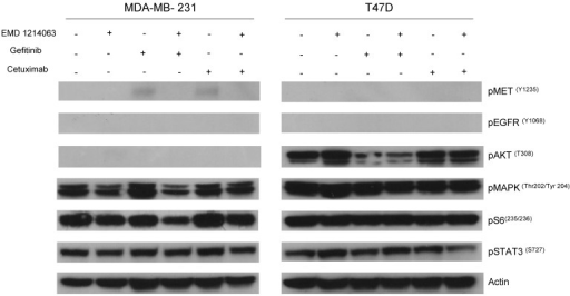 Evaluation of receptors and downstream pathways after different treatments in TNBC cell lines and T47D. Treated cells were starved with RPMI 1640 medium overnight and next morning, they were stimulated with EGF 20ng/mL and/or recombinant human HGF 75ng/mL for 10 minutes before cell lysis. Thereafter, cell lysates were collected and loaded for Western blot with antibodies as indicated. Actin was used as a loading control. D; DMSO, G; Gefitinib, E; EMD 121463, C; Cetuximab. EGF 20ng/ml, HGF 75ng/ml were treated 10 min before cell lysis.
