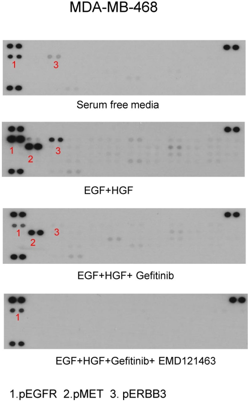 Phospho-receptor tyrosine kinase array results in MDA-MB-468. After stimulation of EGF and HGF and after treatment of gefitinib and gefitinib plus EMD 121463: MDA-MB-468 in 100mm dish was harvested as described in western blotting and Phospho-Receptor Tyrosine Kinase (RTK) antibody arrays (R&D System, #ARY-001, Minneapolis, MN) were performed as recommended but with 450ug protein lysate per array.