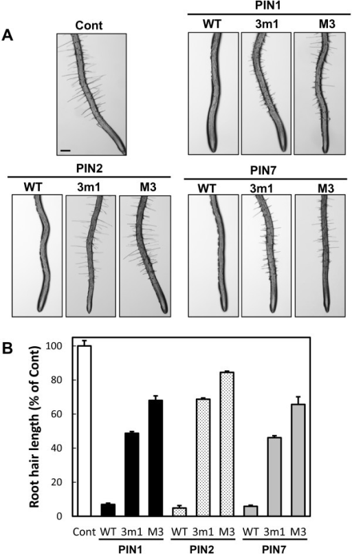 M3 motif is required for PIN activities in root hair cells. (A) Representative root images of the control (ProE7:YFP), wild-type PIN expression lines (WT), and phosphorylation-defective PIN expression lines (3 m1 and M3). WT-, 3 m1-, and M3-PINs were expressed under the root hair-specific EXPASIN A7 promoter (ProE7). Bar = 0.1 mm for all. (B) Root hair lengths of PIN-expressing transformants. The results were obtained from 22–59 seedlings/414–2332 root hairs from five independent lines. Data represent means ± SE.