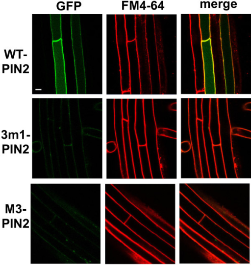 M3 mutations greatly decreased cellular PIN2 levels in root hair cells. Confocal images showing the subcellular localization of ProE7:PIN2 (WT-PIN2), ProE7:3 m1-PIN2, and proE7:M3-PIN2 in root hair cells. Transgenic seedlings were stained with FM4-64 (2 μM). Representative images are shown. Bar = 10 μm in all cases.