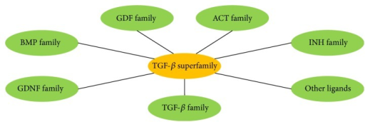 A schematic representation of TGF-β superfamily. TGF-β: transforming growth factor beta; GDF: growth and differentiation factor; ACT: activin; INH: inhibin; other ligands include Müllerian inhibiting substance (MIS) or anti-Müllerian hormone (AMH), left-right determination factor (Lefty), and nodal growth differentiation factor (Nodal); GDNF: glial-derived neurotrophic factors; BMPs: bone morphogenetic proteins.
