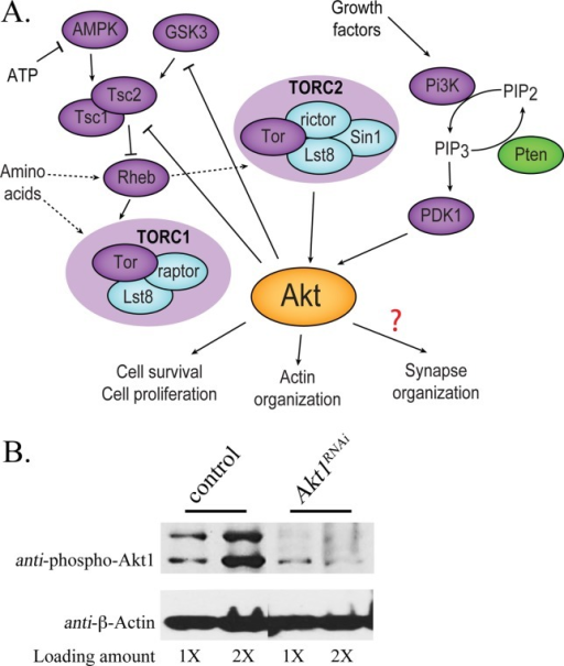 The Akt signaling system and level of Akt1 knockdown using RNA interference in Drosophila. A: In this summary, kinases Rheb, and Tsc1/2 are purple symbols, phosphatases are green, and other components of TOR1 and TOR2 complex are blue. Akt1 is activated by growth factors via Pi3K and PDK1 and by nutritional sensing through Tsc1/2 and TOR complexes. Relationships that are not fully understood or have several possible intermediary steps are shown as dashed arrows or a question mark (adapted from Dimitroff et al., 2012). B: Akt1 function was compromised by muscle-specific expression of an Akt1RNAi construct using the GAL4-UAS system. The level of phosphorylated Akt1 was measured by Western blot. Total muscle proteins were prepared from third instar larval muscles of control animals (UAS-Akt1RNAi transgene only; UAS-Akt1RNAi/+) or Akt1RNAi animals with muscle specific knockdown of Akt1 using 24B-GAL4 driver (24B-GAL4>UAS-Akt1RNAi). Akt1 was dramatically decreased in muscle tissue expressing Akt1RNAi as compared with controls. Measures of β-Actin were used as a protein loading controls. Total proteins extracted from either one (1×) or two larvae (2×) were loaded.