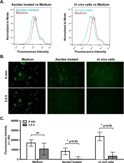 Ascites increases efflux function in ID8 cells.(A). Efflux function was measured by eFFlux ID Green dye assay. ID8 cells isolated from normal culture, obtained after 7 day ascites treatment, or isolated from ascites (in vivo cells) were incubated with eFFlux ID Green dye for 40 min, allowing the cells to uptake and efflux this dye. ID8 cells pre-treated with ascites retained less dye compared to ID8 cells from normal culture, indicating an increased efflux function. (B). Efflux function was measured by Rhodamine 123 assay. ID8 cells obtained from normal culture, from 7 day ascites pretreatment culture or from ascites in vivo were incubated with Rhodamine 123 for 30 min. Then cells from each condition were washed with PBS and incubated with regular medium for 2.5 h. Fluorescent pictures were taken at 0 min (after dye removal and PBS wash) and at 2.5h hours after Rhodamine 123 removal. Quantification of the fluorescence intensity (minus background) in each group is shown in (C). Three independent experiments were performed and a representative result is shown. Error bar represents SD of fluorescent intensity measuring each cell in each image. * indicates p<0.05, Student's t-test.