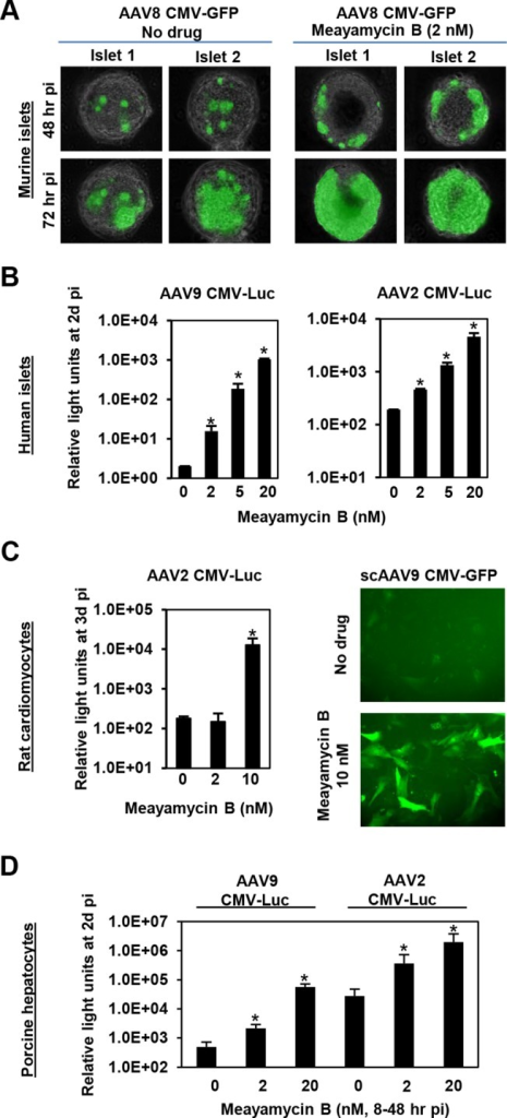 Meayamycin B increases AAV vector transduction of clinically relevant cell types.(A) Primary mouse islets were infected with AAV8 CMV-GFP in the presence or absence of 2 nM meayamycin B, and GFP expression was monitored for three days. (B) Primary human islets were treated with AAV2 or AAV9 CMV-Luc vectors for 7 hours and then treated with 0, 2, 5 or 10 nM meayamycin B. Luciferase expression was analyzed 48 hours p.i. (C) Neonatal rat cardiomyocytes were infected with AAV2 CMV-Luc or scAAV9 CMV-GFP vectors and treated with meayamycin B, 3 hours p.i. Luciferase activity was measured 3 days p.i., while GFP expression was monitored at 5 days p.i. (D) Porcine hepatocytes were infected with AAV2 or AAV9 CMV-Luc vectors for 8 hours, virus was then removed and cells were treated with 0, 2, or 20 nM meayamycin B. Cells were harvested 48 hours p.i. for the luciferase assay. In A-D, an MOI of 104 was used.