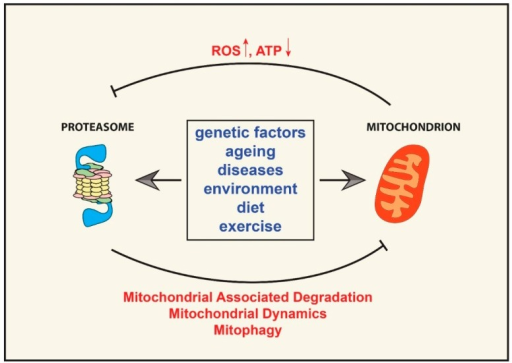 UPS and mitochondrial cross-talk. Several factors, including genes, environment, age, diseases, diet, and exercise can either positively or negatively affect UPS activity and mitochondrial function. Impairment of one of the two systems can then drive the malfunctioning of the other and result in a vicious cycle. A decrease in cellular ATP levels and an increase in ROS production can impair proteasomal function by affecting protein ubiquitination and proteasome assembly and stability, while a decrease in UPS activity could impair mitochondrial function by affecting mitochondrial dynamics, mitophagy, and the removal of damaged mitochondrial proteins.