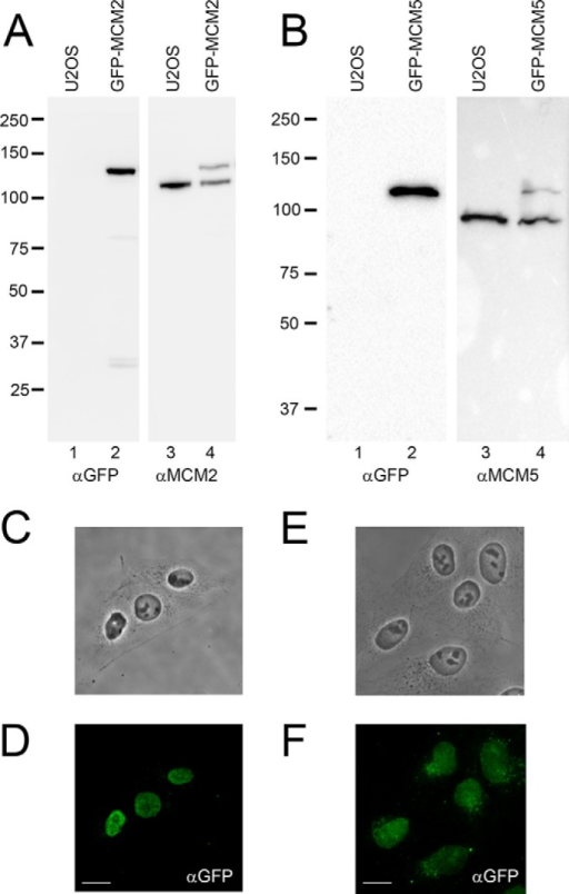 Generation of inducible stable cell lines expressing GFP-MCM2 and GFP-MCM5.A, and B, GPF-MCM2 and GFP-MCM5 were generated by Flp-In recombination into U2OS cells at a specific integration site. Whole cell extracts from either non-induced U2OS cells (A and B, lane 1 and 3), or from cells induced for expression of GFP-MCM2 (A, lane 2 and 4) or GFP-MCM5 (B, lane 2 and 4) were separated by SDS-PAGE and immunoblotted with a GFP antibody (A and B, lane 1–2), with a MCM2 antibody (A, lane 3–4) and with a MCM5 antibody (B, lane 3–4) to confirm expression of the GFP-tagged proteins. C–F) Cells induced for expression of GFP-MCM2 (C–D) and GFP-MCM5 (E–F) were fixed and labeled for immunofluorescence using a GFP antibody (D and F) and cells were visualized by phase contrast (C–E). Scale bar = 30 μm.