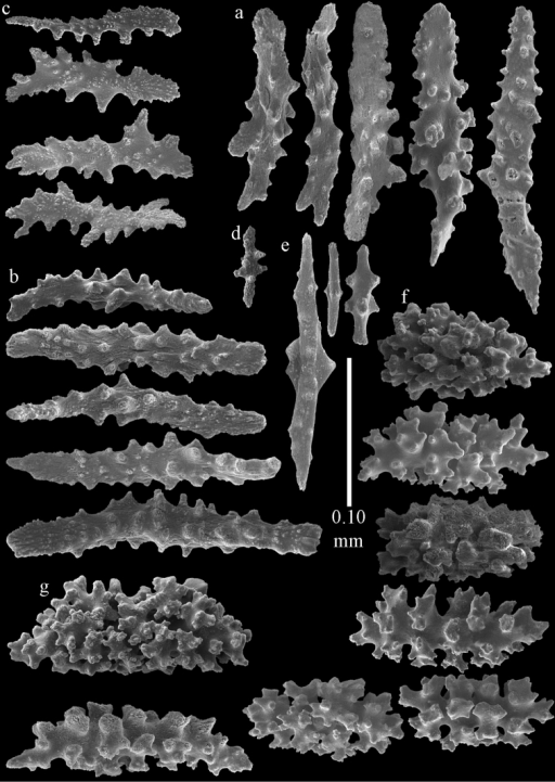 Sclerites of Melitodesdensa, ZMB 5801; a point spindles b collaret spindles c tentacle sclerites d pharynx rods e axial rods f unilaterally spinose spheroids g unilaterally spinose spindles.