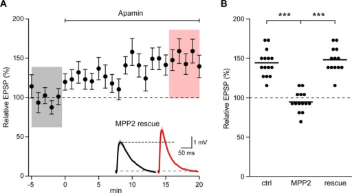 Co-expression of sh-immune MPP2 with MPP2 shRNA rescues synaptic SK2 function.(A) Time course of the normalized EPSP amplitude (mean ± s.e.m.) for baseline in control ACSF and during wash-in of apamin (100 nM) as indicated above in cells transfected MPP2 sh and MPP2 sh immune (n = 13). Inset: representative cell showing average of 15 EPSPs taken from indicated shaded time points in ACSF (black) and 16–20 min after application of apamin (red); shaded areas are mean ± s.e.m. (B). Scatter plot of relative ESPS peak compared to baseline from the individual slices for non-fluorescent control, MPP2 sh-transfected cells and MPP2 sh transfected with immune MPP2 (rescue). Horizontal bar reflects mean.DOI:http://dx.doi.org/10.7554/eLife.12637.012