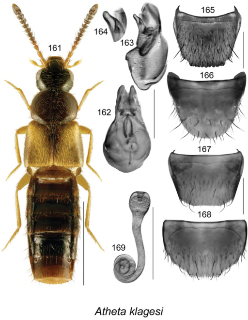 Atheta (Pseudota) klagesi Bernhauer: 161 habitus in dorsal view 162 median lobe of aedeagus in dorsal view 163 median lobe of aedeagus in lateral view 164 enlarged apical part of tubus in lateral view 165 male tergite VIII 166 male sternite VIII 167 female tergite VIII 168 female sternite VIII 169 spermatheca 162–166 based on lectotype. Scale bar of habitus = 1 mm; remaining scale bars = 0.2 mm.