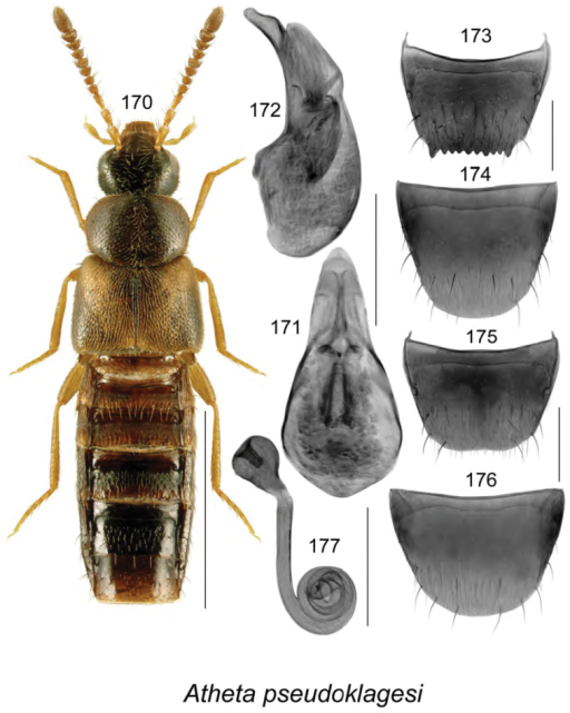 Atheta (Pseudota) pseudoklagesi Klimaszewski & Webster, sp. n.: 170 habitus in dorsal view 171 median lobe of aedeagus in dorsal view 172 median lobe of aedeagus in lateral view 173 male tergite VIII 174 male sternite VIII 175 female tergite VIII 176 female sternite VIII 177 spermatheca. Scale bar of habitus = 1 mm; remaining scale bars = 0.2 mm.