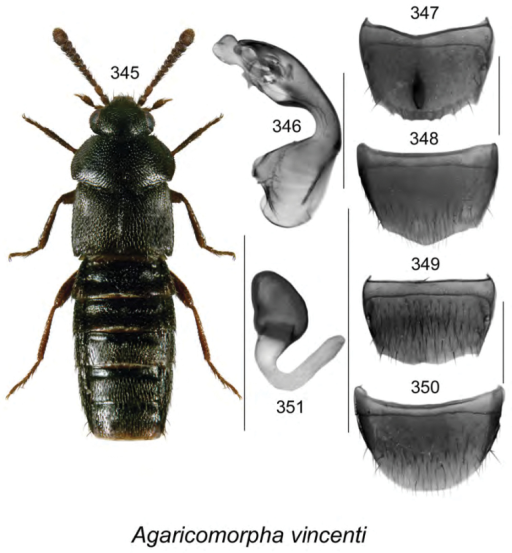 Agaricomorphavincenti Klimaszewski & Webster, sp. n.: 345 habitus in dorsal view 346 median lobe of aedeagus in lateral view 347 male tergite VIII 348 male sternite VIII 349 female tergite VIII 350 female sternite VIII 351 spermatheca. Scale bar of habitus = 1 mm; remaining scale bars = 0.2 mm.