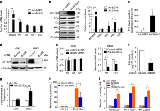 ZBTB20 regulates Prl expression in a cell-autonomous fashion.(a–c) ZBTB20 overexpression in GH3 cells increases PRL expression and secretion without significant effect on GH expression. GH3 cells were infected with Ad-ZBTB20 or Ad-EGFP at MOI of 400. Three days later, GH3 cells were subjected to gene expression analyses at mRNA levels by RT–PCR (a) and at protein levels by western blotting (b), with the expression levels presented as fold change relative to Ad-EGFP control, while PRL secretion was measured in the culture supernatants by ELISA (c). n=4. Values represent mean±s.e.m. **P<0.01 versus Ad-EGFP (Student's t-test). (d–f) ZBTB20 knockdown decreases PRL expression and secretion in MMQ but not GH3 cells. Control or ZBTB20 siRNA was introduced into GH3 or MMQ cells by electroporation, respectively. Three days after transfection, the cells were harvested for western blotting (d) and quantitative RT–PCR analyses (e), and the culture supernatants were measured for PRL levels by ELISA (f). n=4. Values represent mean±s.e.m. *P<0.05 versus control siRNA (Student's t-test). (g) ChIP assay showed the binding of ZBTB20 to rat Prl promoter in MMQ rather than GH3 cells. n=3. Values represent mean±s.e.m. **P<0.01 versus control IgG (Student's t-test). (h) ZBTB20 knockdown decreases the transcriptional activity of Prl promoter in MMQ cells. MMQ cells were co-transfected with siRNA and expression plasmids by electroporation. Luciferase activity was measured at 48-h post transfection, and normalized with internal control. n=3. Values represent mean±s.e.m. ** P<0.01 versus control siRNA (Student's t-test). (i) ZBTB20 overexpression enhances the transcriptional activity of the Prl promoters in 293T cells in the presence of Pit-1. Rat Prl promoters are 0.5, 1.7 kb, or 2.5 kb in length. n=3. Values represent mean±s.e.m. ** P<0.01 versus Pit-1 group (Student's t-test).