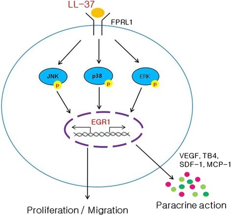 Scheme representing the functions of ASCs after LL-37 treatment. LL-37 enhances ASC proliferation and migration via the EGR1 and MAPK pathways. Furthermore, LL-37 stimulates the secretion of growth factors such as VEGF, TB4, SDF-1, and MCP-1 in human ASCs. CM from ASCs preconditioned with LL-37 strongly promotes hair growth in vivo. LL-37 can be modulated to activate human ASCs and may provide a therapeutic approach for tissue regeneration by enforcing the functions of ASCs (e.g., expansion, migration, and paracrine actions). ASCs adipose-derived stromal/stem cells, EGR1 early growth response 1, MAPK mitogen-activated protein kinase, VEGF vascular endothelial growth factor, TB4 thymosin beta-4, SDF-1α stromal cell-derived factor-1α, MCP-1 monocyte chemoattractant protein-1, CM conditioned medium