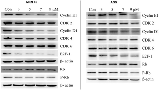 Mechanism of PFK15-induced cell cycle arrest in G0/G1 phase.Cells were treated with various concentration of PFK15 for 24 h. The cell cycle associated proteins were checked by western bolt assay. PFK15 treatment significantly decreased expressions of cyclin D1, cyclin E1, phosphorylated Rb and the nuclear transfactor E2F-1 levels while increased non-phosphorylated Rb protein levels in both MKN45 and AGS cell lines.