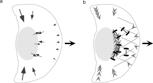 Model of keratocyte migration. Actin–myosin condensation in the perinuclear region generated rearward traction forces in the lamella by pulling on the orthogonal actin in this region. The condensation also generates forward forces that push the cell body forward. Finally, the perinuclear bundles generate the pincer forces that are orthogonal to the direction of migration. a, Orientation of traction forces measured by micromachined substrata and optical gradient trap. b, Orientation of actin and myosin network in keratocyte cytoskeleton (based on data from Svitkina et al. 1997).