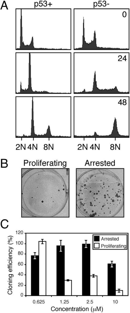 p53 restrains endoreduplication in the presence of ZM447439. (A) DNA content histograms of U20S cells with (p53+) or without (p53−) a functional p53 response treated with ZM447439 for the times indicated in hours. (B) Growth-arrested or proliferating MCF-7 cells were exposed to ZM447439 for 72 h, and were then assayed for the ability to form colonies in the absence of ZM447439. (C) Bar graph quantitating the cloning efficiency of MCF-7 cells treated with a range of ZM447439 concentrations. Each value represents the mean and SD from three independent experiments.