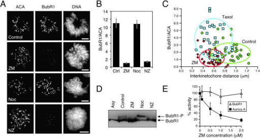 ZM447439 inhibits kinetochore localization and phosphorylation of BubR1. (A) Projections of deconvolved image stacks showing mitotic DLD-1 cells treated for 1 h with the drugs indicated and then stained to detect kinetochores/centromeres (ACA), BubR1, and DNA. (B) Bar graph plotting the fluorescence ratio of BubR1 to ACA signal under various conditions, showing that ZM447439 reduces the BubR1 signal by ∼10-fold. Values represent the mean and SEM of at least 26 different kinetochore/centromere pairs analyzed in at least three different cells. (C) Plot of BubR1 signal intensity versus interkinetochore distance at metaphase kinetochores in untreated cells (green circles) or cells exposed to ZM447439 (red diamonds) or paclitaxel (blue squares) for 40 min. ACA foci were used to determine kinetochore position. The ovals encompass at least 75% of the data points. (D) Mitotic HeLa cells collected by selective detachment after release from G1/S into the drugs indicated were analyzed by immunoblotting. In the presence of ZM447439, the phosphorylated form of BubR1 is not detectable. (E) BubR1 was affinity purified form nocodazole-arrested mitotic HeLa cells and assayed for kinase activity in the presence ZM447439. Each value represents the mean and SEM derived from three independent experiments.