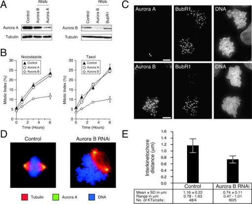 Repression of Aurora B prevents kinetochore localization of BubR1. HeLa and DLD-1 cells were transfected with siRNA duplexes to repress either Aurora A or B. (A) Immunoblots of HeLa cell lysates showing repression of Aurora A and B. (B) Transfected DLD-1 cells were exposed to spindle toxins, and the mitotic index was measured over time. Values represent the mean and SEM from three independent experiments in which at least 1,000 cells were counted. (C) Projected deconvolved image stacks of nocodazole-treated mitotic DLD-1 cells after transfection of siRNAs targeting Aurora A (top) and Aurora B (bottom). (D) Examples of spindle morphology in control and Aurora B RNAi cultures. (E) Plot of interkinetochore distance in control and Aurora B–repressed cells.