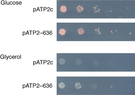 Validation of an in vivo selection for mRNA mitochondrial localization (17). Plasmid pATP2 expressing either a negative control 3′ UTR (pATP2c) or the wild-type ATP2 3′ UTR (pATP2-636) was introduced into strain ATP2-3′ADH1. Ten-fold serial dilutions of the resulting strains were plated on media (-trp -ura) under either nonselective conditions (with glucose as the sole carbon source, top) or selective conditions (with glycerol as the sole carbon source, bottom).