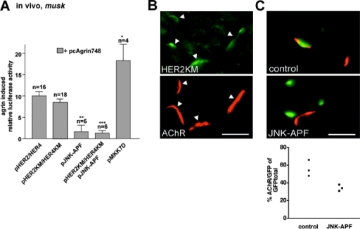 Agrin activates nsk2/musk via an ErbB- independent pathway in muscle fibers in vivo. (A) Activation of the nsk2/musk promoter fragment by Agrin in vivo is marginally affected by HER2KM and HER4KM but is fully blocked by JNK-APF. MKK7D activates the nsk2/musk fragment in the absence of Agrin. Nonspecific background luciferase activities as observed in muscle fibers injected with expression vector for muscle agrin (pcAgrin700; see Fig. 3 A) are subtracted. (B) Injection of pHERKM induces expression of HERKM in muscle fibers in vivo as myc immunoreactivity was observed at agrin-induced ectopic postsynaptic membranes upon injecting pmyc_HER2KM, a fusion of HER2KM and myc. Bar, 25 μm. (C) JNK-APF inhibits ectopic subsynaptic differentiation by Agrin. Muscle fibers were injected with pcAgrin748, pnslGFP, and pJNK-APF or equivalent amounts of empty vector (control); the formation of ectopic AChR clusters in GFP-positive fibers was then examined in cross sections, and injected fibers were identified by their expression of GFP. (Top) Control fiber (note the formation of AChR cluster [red] in GFP-positive control fiber [green nuclei]). (Middle) Agrin secreted induces AChR cluster on adjacent, GFP-negative (JNK-APF–negative) but not on GFP- (JNK-APF) expressing fiber. Bar, 25 μm. (Bottom) The percentage of GFP-positive fibers forming AChR clusters in response to Agrin is depressed in JNK-APF compared with control fibers. Each data point represents one muscle. 83–513 fiber profiles were examined per muscle.